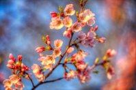 Blossom Branch HDR