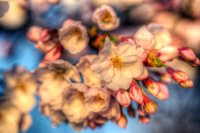 Blossoms HDR
