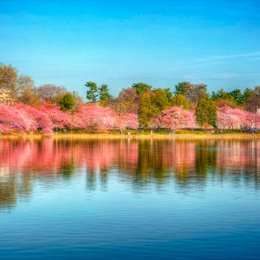 Cherry blossoms – part 4 of 4 (HDR)