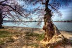 Cherry Blossom Tree HDR