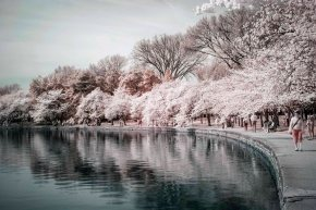 Cherry blossoms – part 3 of 4 (infrared)