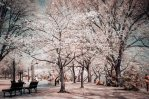 Infrared Blossom Trees