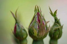 Three Little Buds