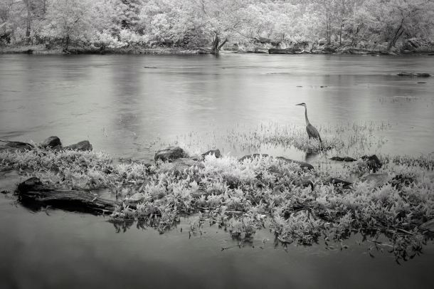 Infrared Blue Heron B&W