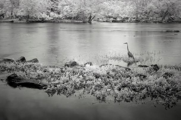Infrared Blue Heron B&W