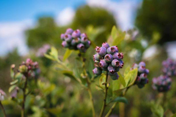 Budding Blueberries