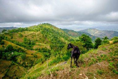 Haitian Mountain Goat